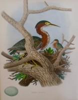 "Edwin Sheppard, ""Green Heron, Nest, and Eggs,"" 1882"
